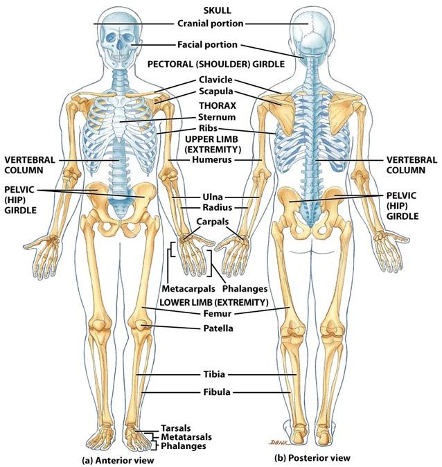 Sistema esquelético | Morfofisiología